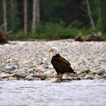 Northwest BC Eagle