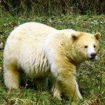 Kermodei Bear